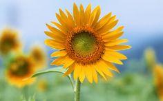 As flores e seus significados no Casamento:  Girassol. Flor grande, fica linda se usada num arranjo sozinha. Significam felicidade e lealdade