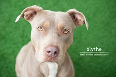 Blythe is waiting for you at the Santa Monica Animal Shelter.  How could you resist that face?!?