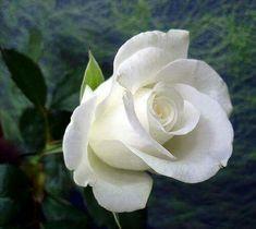 White Rose Seeds Rose Flower Seeds 200 Seeds by Amazing Flowers, Beautiful Roses, Beautiful Flowers, Rose Pictures, Rose Photos, Beautiful Pictures, Orquideas Cymbidium, White Rose Flower, Rosa Rose