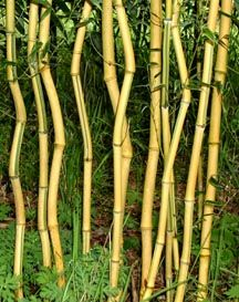 Phyllostachys aureosulcata 'Spectabilis' 'Spectabilis' Common Name: Spectabilis Maximum Height: 25 to 30 feet Diameter: 2 inches Hardiness: F Recommended USDA zone 5 through Garden Park, Gnome Garden, Garden Tools, Garden Ideas, Bamboo Plant Care, Bamboo Plants, Trees To Plant, Plant Leaves, Bamboo Seeds