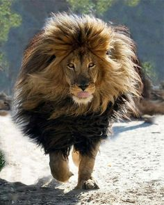 Look at that mane on the lion