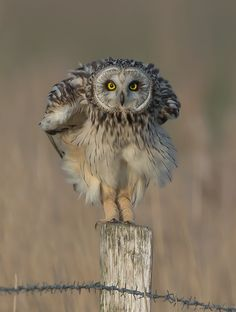 Short-eared Owl - Thx for having a look!  Grtz...