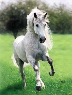 Pretty Dapple grey horse.
