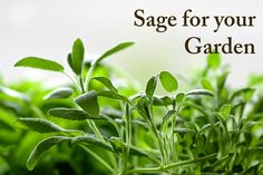 Sage is a common cooking herb, but what does it bring to a garden?
