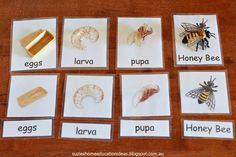 Suzie's Home Education Ideas: Hands-on learning about Honey Bees FREE life cycle nomenclature cards