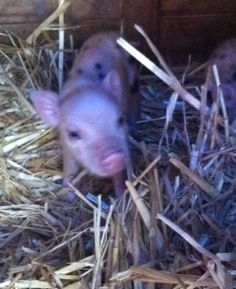 Texas Mini Pigs - Juliana pigs