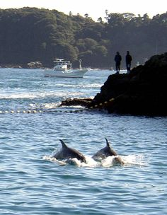 Contentious annual dolphin hunt begins in Taiji