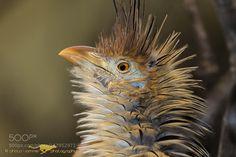 Guira Cuckoo by photo-sommer via http://ift.tt/1oWF0La