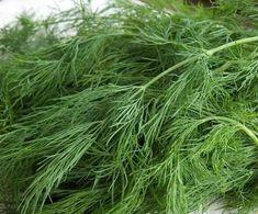 DereotuDereotu, maydanoz, defne yaprağı ve kimyonla aynı aileye aittir. Orijini Akdeniz'dir. Demir, manganez ve kalsiyum içerir. Bunun yanı sıra güçlü antioksidanlar içerir ve anti enflamatuar özelliği vardır. Taze veya kuru hali birçok tıbbi amaç için kullanılır.