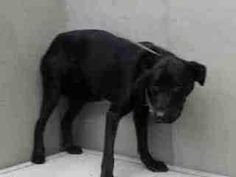 #A4776367  My name is Jet and I'm an approximately 2 year old male labrador retr. I am already neutered. I have been at the Carson Animal Care Center since November 14, 2014. I am available on November 14, 2014. You can visit me at my temporary home at C341. Carson Shelter, Gardena, California. https://www.facebook.com/171850219654287/photos/pb.171850219654287.-2207520000.1416669729./331333480372626/?type=3&theater