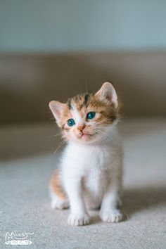 ♥ Cats are Cool ♥ Cute Fluffy Kittens, Kittens Cutest Baby, Cute Baby Cats, Cute Little Kittens, Kittens And Puppies, Cute Little Animals, Cute Funny Animals, Cute Dogs, Pretty Cats
