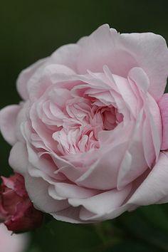 ~Rosa 'Antonine d'Ormois'