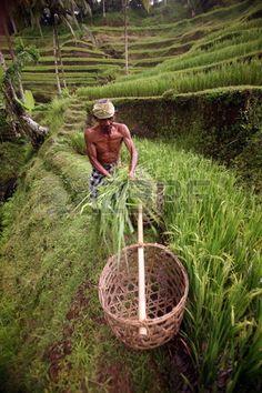 Les rizières de Tegalalang au nord de Ubud dans le centre de Bali sont magnifiques et permettent de semer et de récolter du riz.