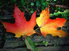 "sugar maple trees  | Sugar maple trees have a wide range of uses. image by ""Intensity"" is ..."