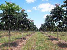 O Mogno Africano é hoje a principal madeira nobre cultivada no Brasil. Tem chamado a atenção de investidores japoneses, europeus e norte americanos, devido ao seu alto valor de mercado e capacidade de reflorestamento.