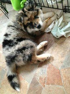 Wolf, Husky and Australian Shepherd mix~