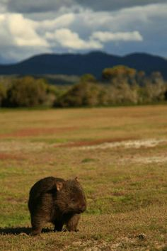 A wombat, Narawntapu National Park, Northern Tas. Happy Animals, Animals And Pets, Funny Animals, Cute Animals, Australia Funny, Australia Animals, Baby Wombat, The Wombats, Super Funny Pictures