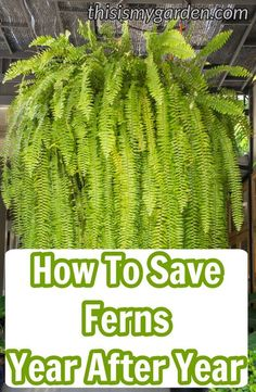 How to save your ferns year after year. Keep you outdoor ferns save from winter's fury. How to save your ferns year after year. Keep you outdoor ferns save from winter's fury. Container Plants, Container Gardening, Gardening Tips, Organic Gardening, Vegetable Gardening, Indoor Gardening, Succulent Containers, Gardening Services, Gardening Books