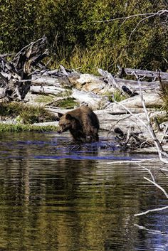 A California black bear goes fishing in Taylor Creek in the South Lake Tahoe area.