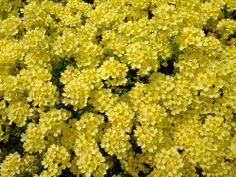 Aurinia saxatalis 'gold king'