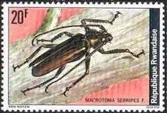 Longhorn Beetle (Macrotoma serripes)