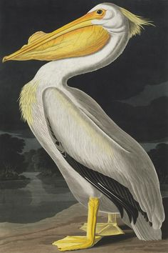Pelecanus erythrorynchos, American white pelican -