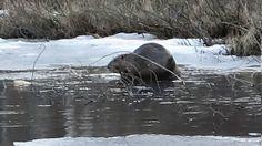 Бобры купаются