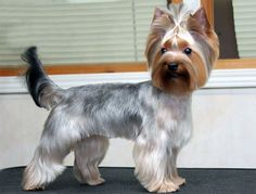 This body trim is what I would like for my long hair dog (not a Yorkie). Explore+Yorkie+Haircuts+Pictures+And+Select+The+Best+Style+For+Your+Pet Positive Dog Training, Basic Dog Training, Training Dogs, Yorkshire Terrier Haircut, Yorkshire Terrier Puppies, Yorkshire Macho, Yorkie Cuts, Yorkie Hairstyles, Yorshire Terrier
