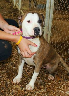 Meet Molly, a Petfinder adoptable American Bulldog Dog | Enterprise, AL | Molly is a gorgeous 2 year old female Bulldog mix. She has a beautiful white and brindle...