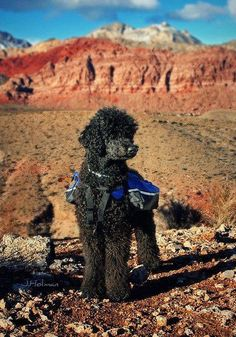Poodle hiker Harry Potter do you have a fur friend who likes to go hiking???