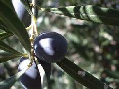 La mosca delle olive sta per aggredire le drupe. Danadim 400 di Cheminova non è d'accordo