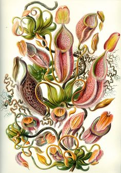 Ernst Haeckel Here's one from the history books. Ernst Haeckel was a German of… Vintage Illustration, Science Illustration, Plant Illustration, Botanical Flowers, Botanical Prints, Flowers Nature, Illustrations Harry Potter, Ernst Haeckel Art, Impressions Botaniques