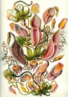 Planche botanique de népenthes en 1904. data.abuledu.org