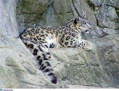 26 Jaguar Panther, Panther Leopard, Black Panther, Ghost Cat, Cheetahs, Snow Leopard, Close Image, Big Cats, Polar Bear