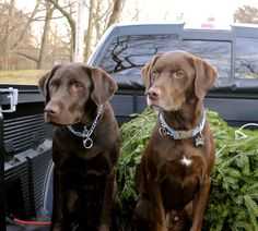 Dogs Being Dogs | Garden and Gun.  Gus and Moose....beautiful chocolate babies!