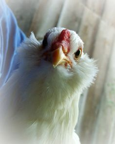 60 Breeds of Chickens with pictures and information.