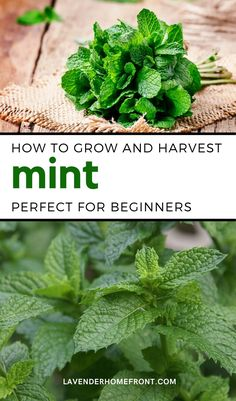 Check out this great guide to growing and harvesting mint in your own backyard garden. Mint is an easy to grow herb that does great in all climates. It's a great companion plant in the garden and is also useful in teas and tinctures. Add this lovely and herbacious plant to your garden this season. #gardening #herbgarden #gardenigntips #backyardgarden