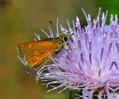 Fiery Skipper Butterfly on a Purple Thistle