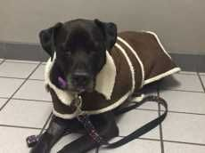 1/10/17 STILL NEED HELP!! 1/5/17 PLEASE CONTINUE SHARING TO HELP!! Niva now known as Ziva was pulled by All Breed Rescue and transported to her new family on Christmas Eve. They had recently lost their beloved ACC rescue Julie to a lung tumor. Niva began showing alarming symptoms like lethargy and shaking throughout her body. She was taken to emergency and was...