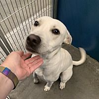 Henderson Nc Labrador Retriever Meet Jersey A Pet For Adoption Labrador Retriever Pet Adoption Labrador
