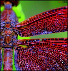 Redwing by matsetan, via Flickr