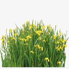 Aquatic plants, Garden, Landscape Elements, Grass PNG and PSD