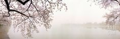 Cherry Blossoms at the Lakeside, Washington DC, USA Photographic Print by Panoramic Images at Art.com