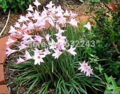 Chegada nova casa jardim planta 10 sementes Zephyranthes Rosea rosa de chuva, Rainlily cubano Zephyr Lily sementes de flores frete grátis