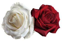 Transparent White and Red Roses PNG Picture Rose Images, Flower Images, Flower Art, Hd Flower Wallpaper, Colourful Wallpaper Iphone, Home Flowers, Red Flowers, Red Roses, Image Transparent