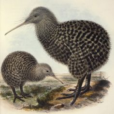 A well organised site to help you discover some of the amazing features of the Great Spotted Kiwi.