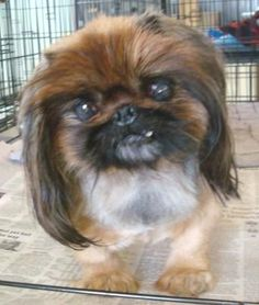 Elle is an adoptable Pekingese searching for a forever family near Edwards, IL. Use Petfinder to find adoptable pets in your area.