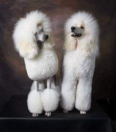 DOGS POODLES ♡ STANDARDS