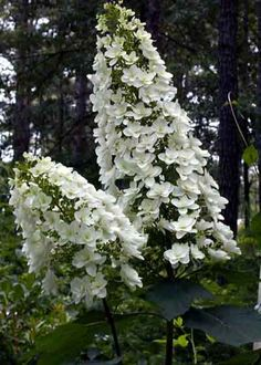 Hydrangea quercifola- Oakleaf Hydrangea