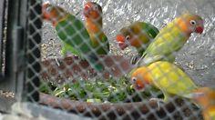 Lovebirds Kay Liye Summer Ka Best Soft Food